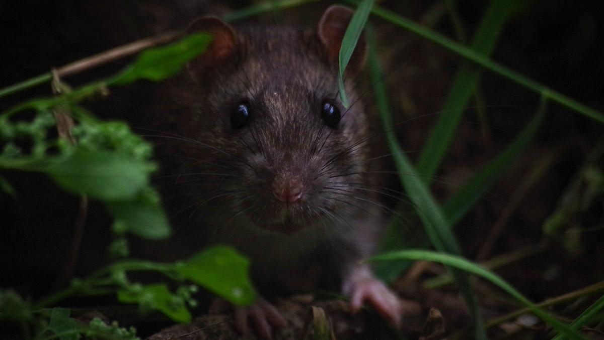 Rat_Hannut
