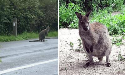 wallaby-hannut